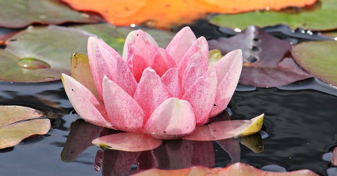 water-lily-1585149_1920